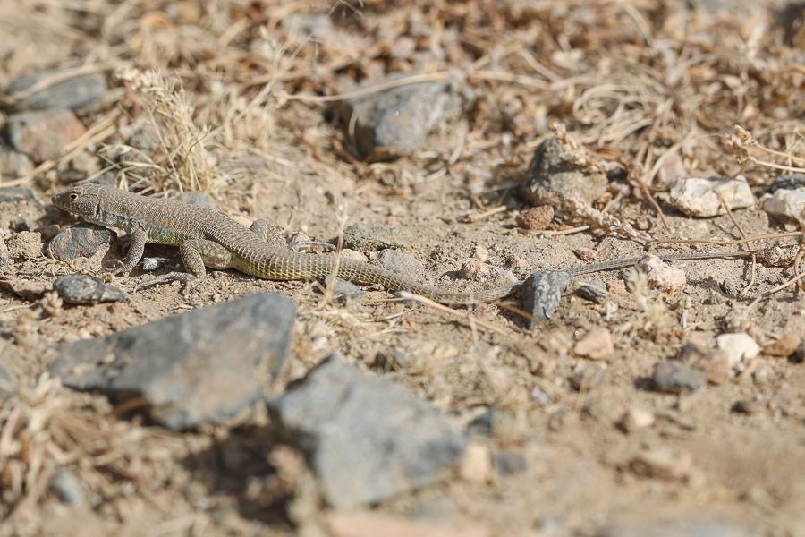 Snake-tailed Fringe-toed Lizard