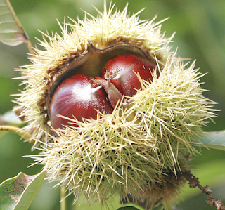 https://fr.wikipedia.org/wiki/Marron_(fruit)