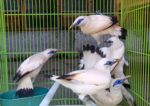 Daftar Harga Burung Jalak Bali Bersertifikat Resmi Orisinil Terbaru Tahun 2019