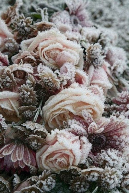 Roses d'hiver...