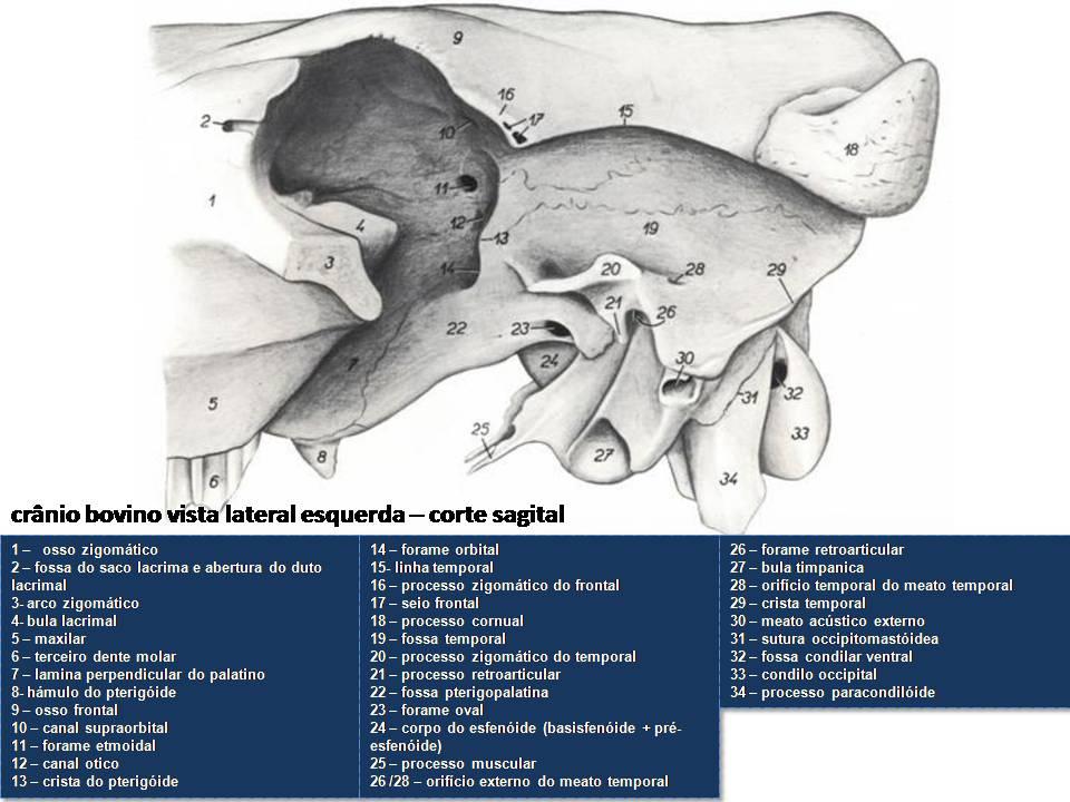 anatomia-equino-cabeça-atlas-pdf-grátis-libros-de-veterinaria-livros-baixar-gratis