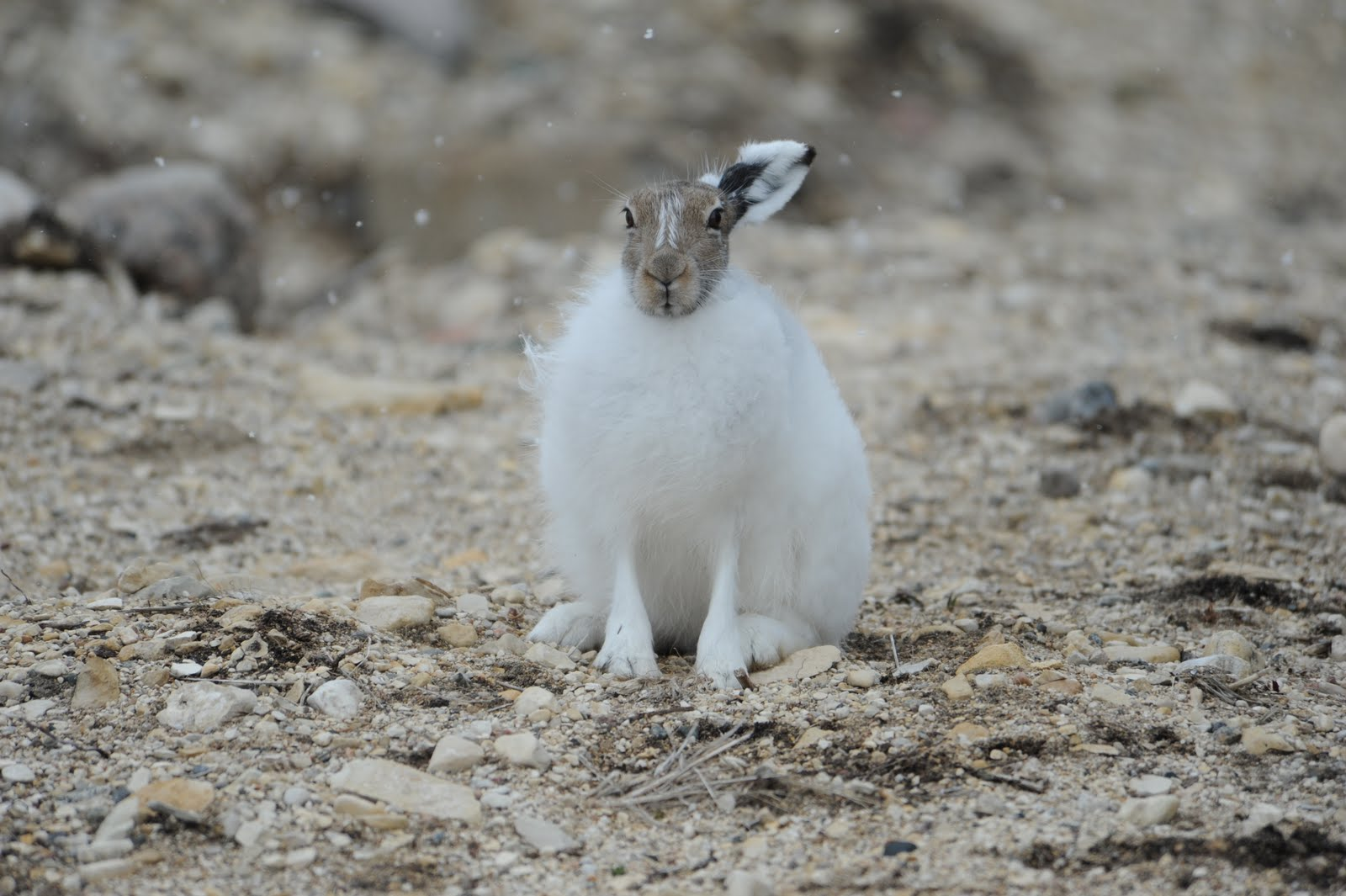 arctic hare tundra animals plants animal kingdom biggest eats hares eat bunny rabbit baby rabbits leaves woody mainly buds dine