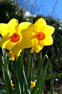 daffs at the lottie - 'growourown,blogspot.com' ~an allotment blog