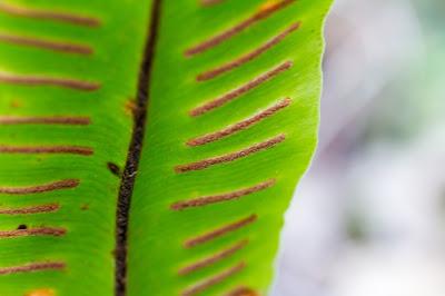 Spores of Asplenium scolopendrium.