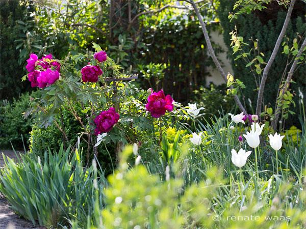 """Paeonia suffruticosa Souvenir de Ducher, Tulipa """"White Triumphatro"""" Allium atropurpureum"""