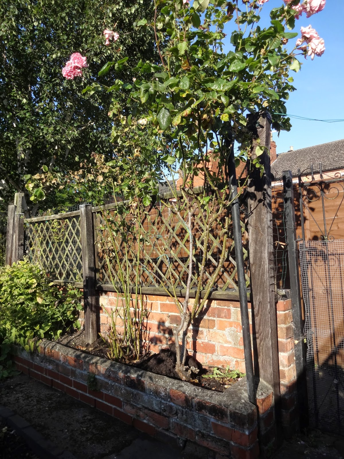 large rose tree in garden