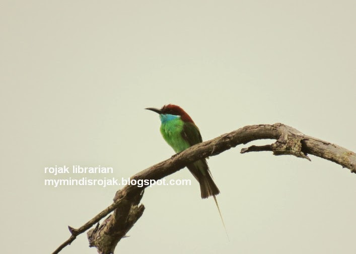 Blue throated Bee eater in Tampines Eco Green