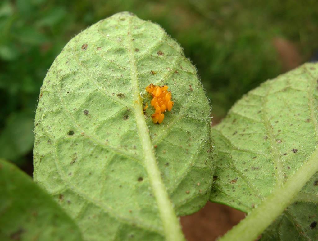 Potato Bug Larvae
