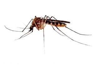 Cara efektif usir Nyamuk