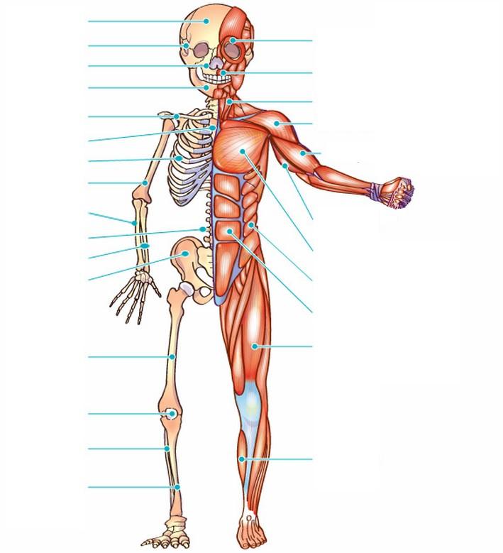 Excepcional Diagrama De Músculos En El Cuerpo Modelo - Anatomía de ...