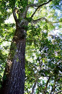Cedar Tree in Puriscal