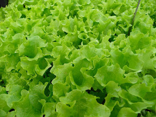 10 Health Benefits of Lettuce (Lactuca sativa)
