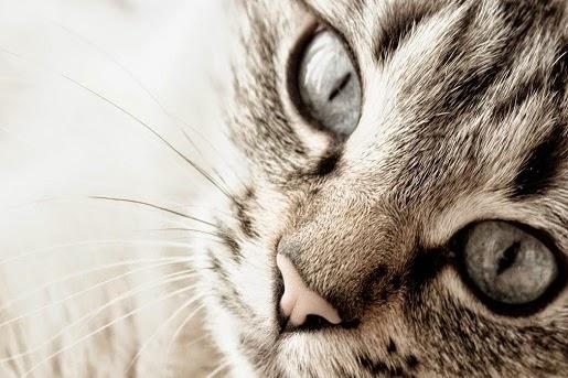 Choroby oczu u kotów