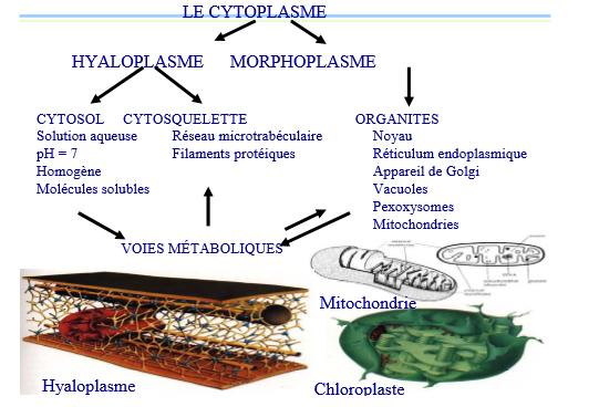 L'hyaloplasme
