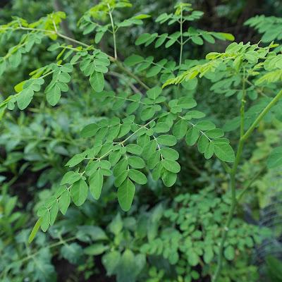 Meerrettichbaum - Moringa oleifera (Marum) - มะรุม