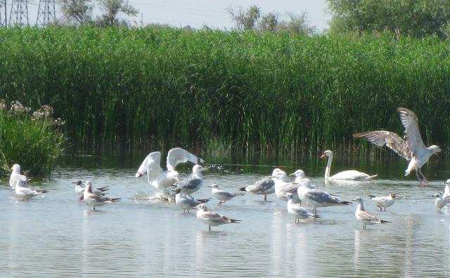 Фото Виталия Бабенко: чайки, лебеди