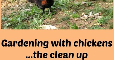 Gardening with chickens   the clean up - Murano Chicken Farm