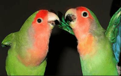 Ciri Ciri Lovebird Berjodoh