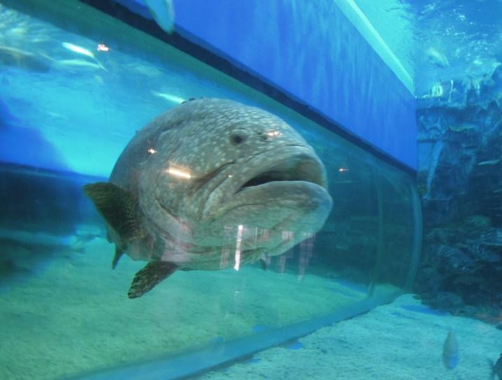 A giant fish at Manila Ocean Park oceanarium