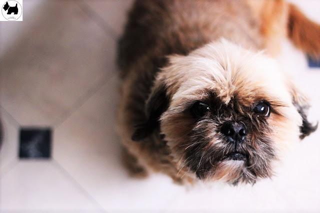 Cutest Dog Breeds, Best Dog, Shih Tzu Dog puppies