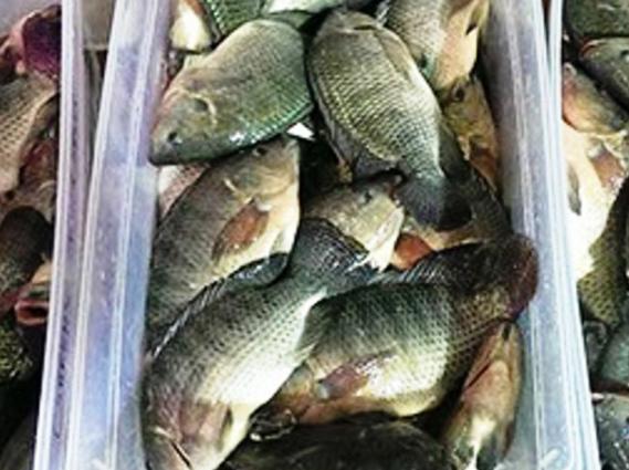 Beginilah Cara Cepat Memancing Ikan Mujair Liar Mancing Mania Mantab