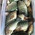 Beginilah Cara Cepat Memancing Ikan Mujair Liar