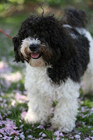 white and black Havanese Dog in fresh mood