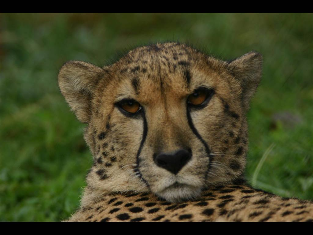 wild animals animal 2007 wildlife african planet earth wisdom listening zoo quotes consciously living cheetah rainforest africa south nature face