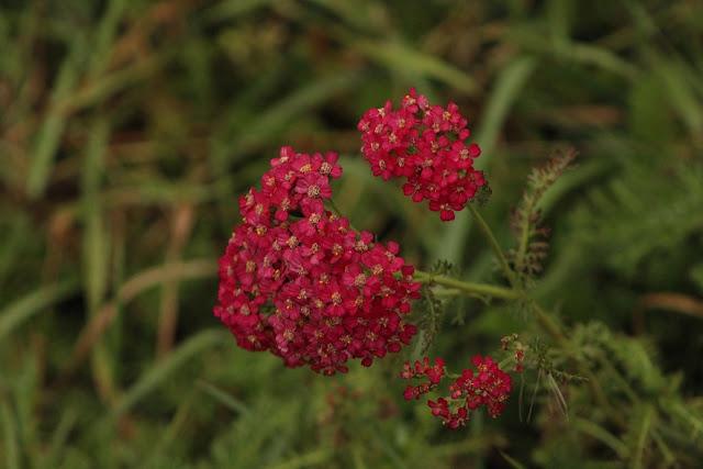 red yarrow