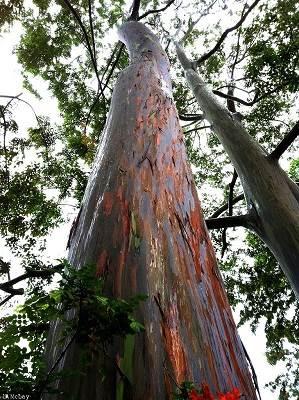 Pohon Berbatang Pelangi Ini Ternyata Ada Di Indonesia, Lihat Foto-Fotonya Yang Menakjubkan!