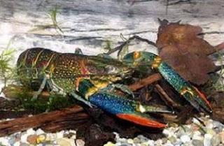 cara budidaya lobster air laut di rumah,cara budidaya lobster di kolam terpal,cara budidaya lobster air laut di kolam,cara budidaya lobster laut,cara budidaya lobster air tawar di rumah,