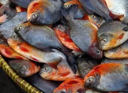 Ini Beliau Contoh Umpan Ikan Bawal Dikala Malam Hari