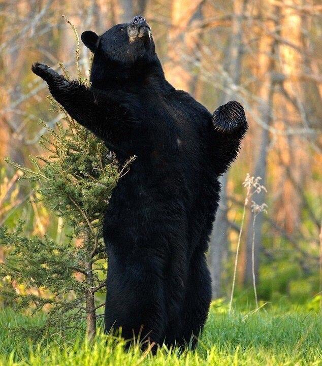 легко фото медведя с поднятой лапой звание имел