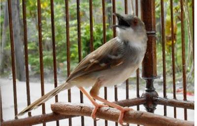 Suara Burung Ciblek Gacor