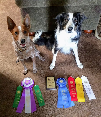 Australian cattle dog and border collie with herding trial ibbons