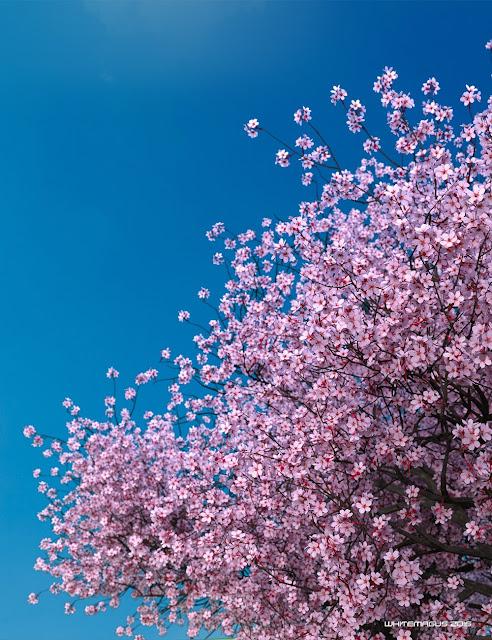 Sakura Extreme Detail