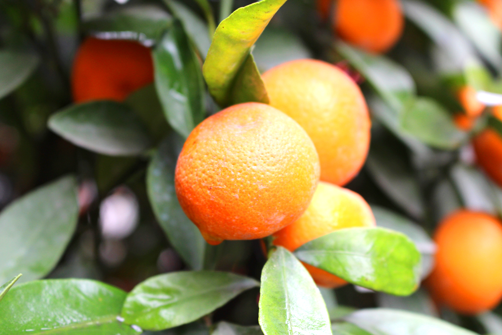 Orange tree in Hanoi, Vietnam - lifestyle & travel blog