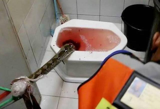 هجوم ثان لافعى من كرسي المرحاض فاجأت الرجل وهو على كرسي المرحاض!!