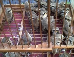 Burung Cendet - Memilih Bakalan Burung Cendet Yang Berkualitas Jawara - Penangkaran Burung Cendet