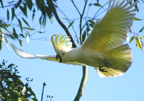 Beautiful Cockatoo Facts & Info 1