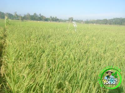 FOTO 3 :  Percobaan : Tanaman Padi TRISAKTI 59 HST  di Sawah Rawa - 75 HST Panen