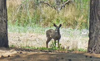 Deer at Dead Horse State Park