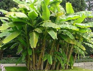 ต้นไม้ไม้มงคล ต้นกล้วย