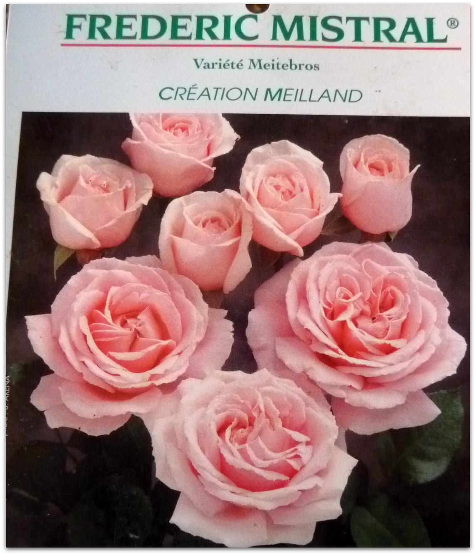 barbara lilian in france rose garden project. Black Bedroom Furniture Sets. Home Design Ideas