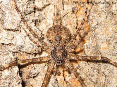 Two-tailed Spider Picture