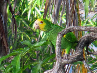 Yellow shouldered amazon