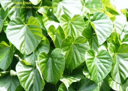 रामबाण है गिलोय-RamBaan Hai Giloy-Tinospora Kardifolia