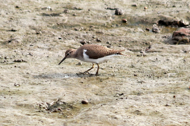 Common Sandpiper - Sewri