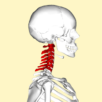 Cervical vertebrae (tulang tengkuk)