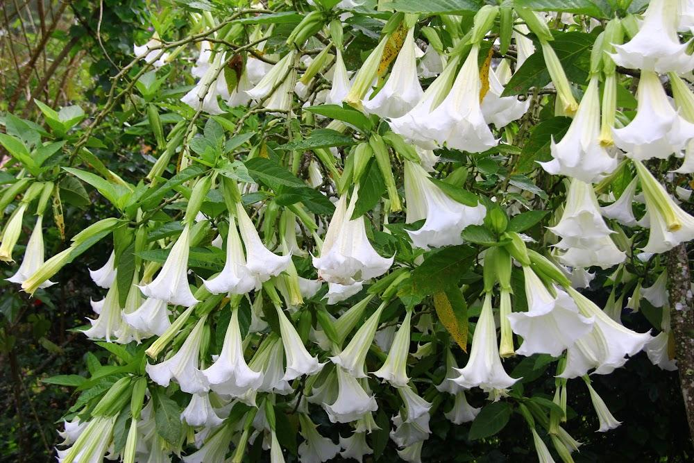 Bunga Loceng